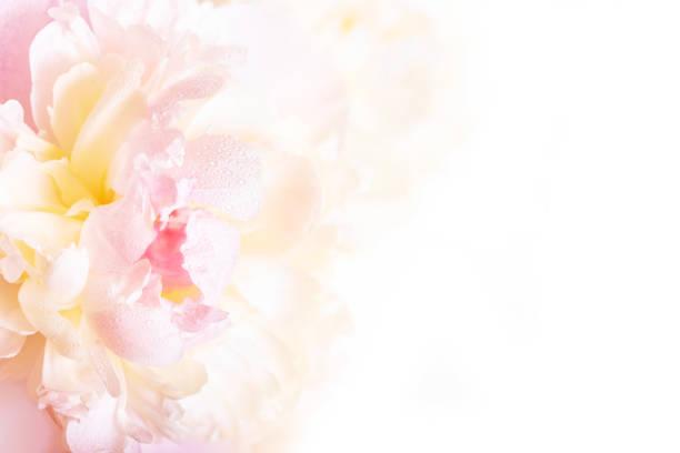 Gorgeous floral background with delicate petals of a blooming peony picture id672313974?b=1&k=6&m=672313974&s=612x612&w=0&h=gr5qk em mz9i074nauikp2 09mwtusxilfxiqy0520=