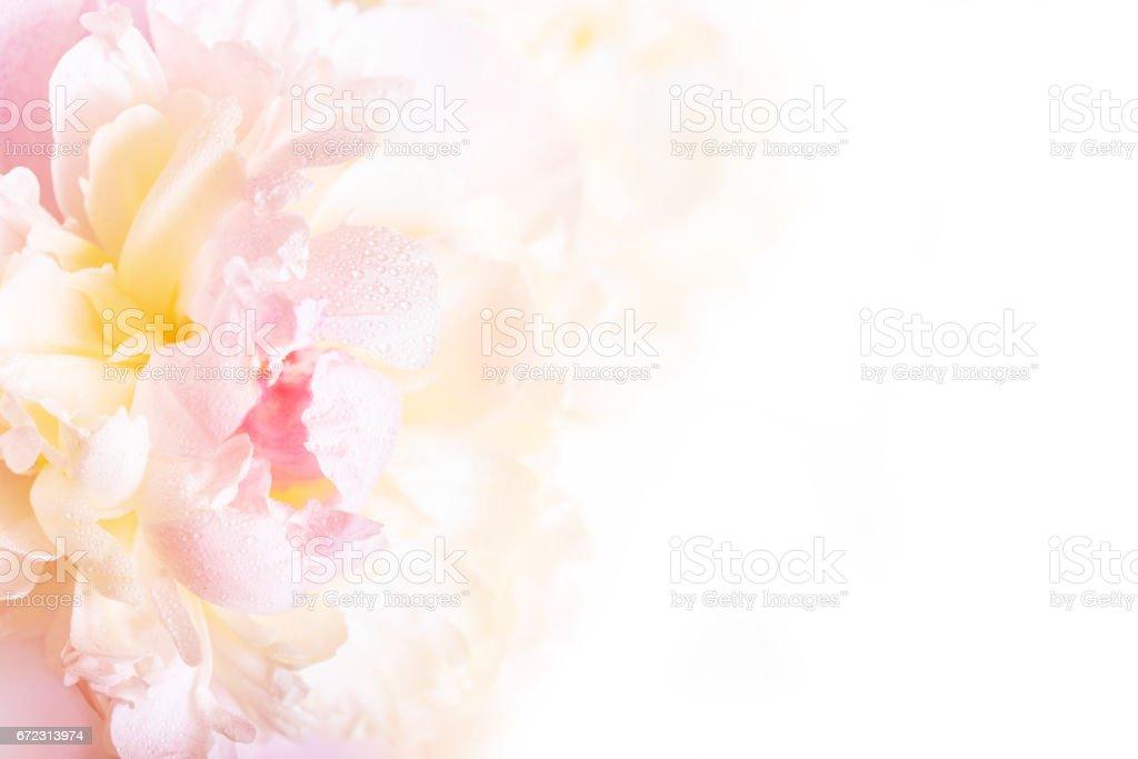 Eine wunderschöne Blumenkarte mit zarten Blütenblättern eine blühende Pfingstrose. – Foto