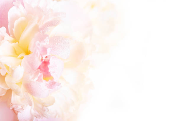 eine wunderschöne blumenkarte mit zarten blütenblättern eine blühende pfingstrose. - pfingstrosen pflege stock-fotos und bilder