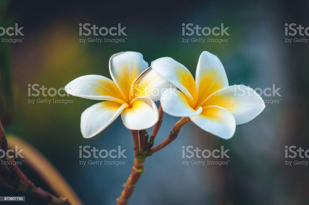 Gorgeous Frangipani Flowers. Macro shot. stock photo