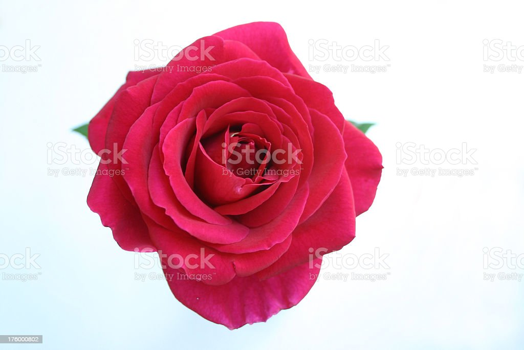 gorgeous full open rose red pink stock photo