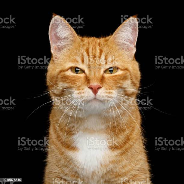 Gorgeous ginger cat on isolated black background picture id1018078810?b=1&k=6&m=1018078810&s=612x612&h= omn6eyw4iiruawazlpsoe06ll7r m09upnukwfuew8=