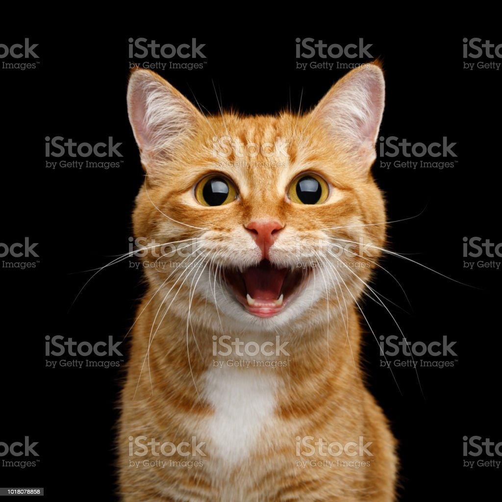 Lindo Ginger Cat em fundo preto isolado - foto de acervo