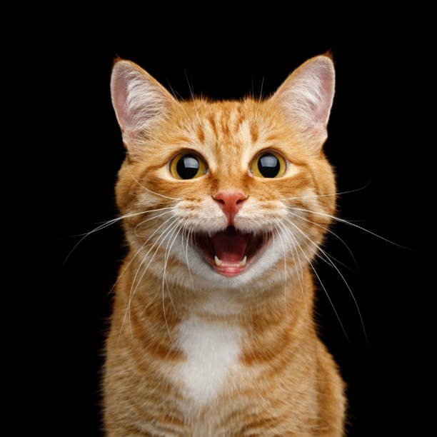 Gorgeous Ginger Cat on Isolated Black background stock photo