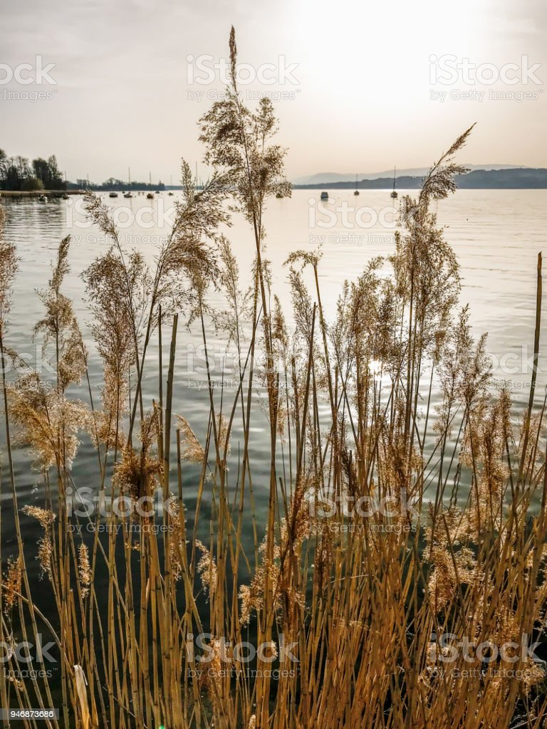 gorgeous golden reeds at a lake side in in warm evening light stock photo