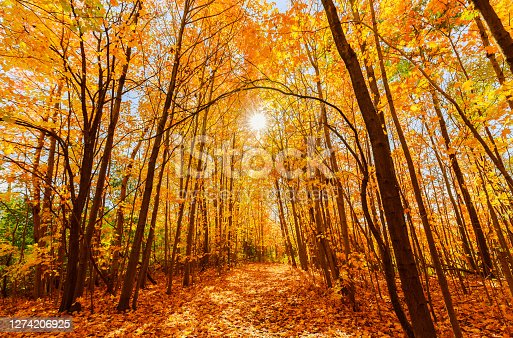 istock gorgeous inviting view of yellow golden color autumn forest on sunny warm great day 1274206925