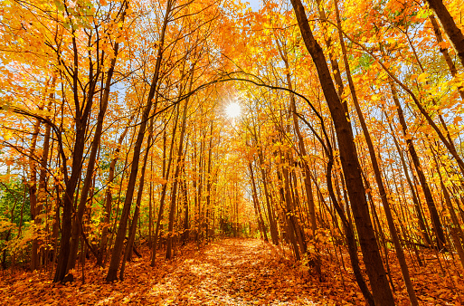 amazing gorgeous inviting view of yellow golden color autumn forest on sunny warm great day