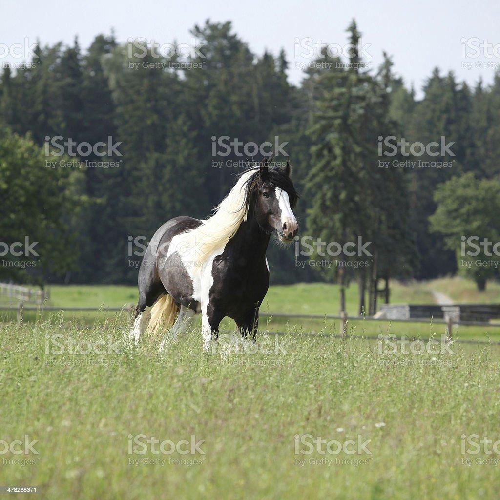 Gorgeous irish cob stallion running stock photo