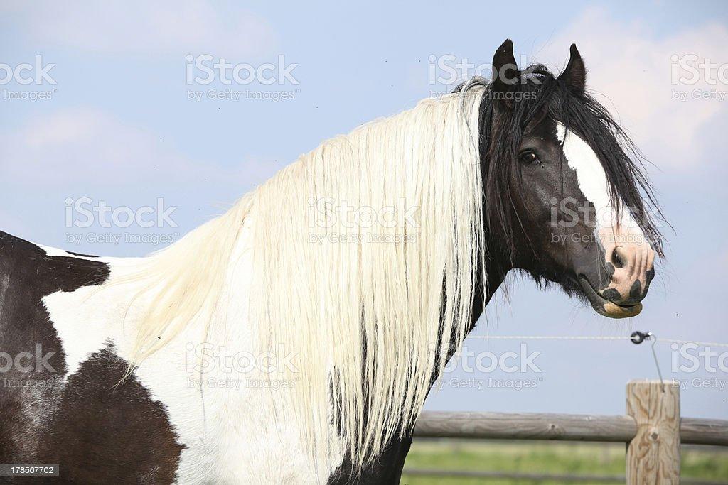 Gorgeous irish cob stallion with long mane stock photo