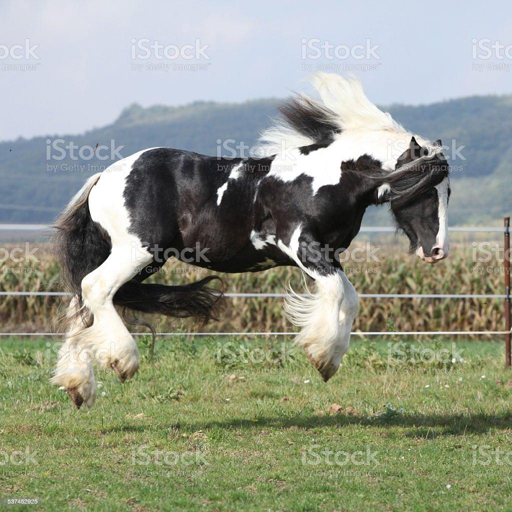 Gorgeous Irish Cob With Long Mane Jumping Stock Photo Download Image Now Istock
