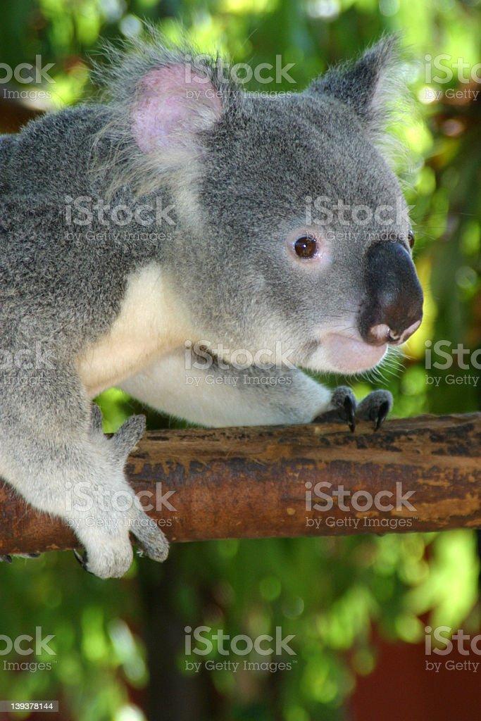 Gorgeous Koala royalty-free stock photo