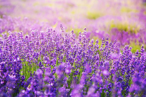gorgeous lavender flowers on lavender field on a sunny day