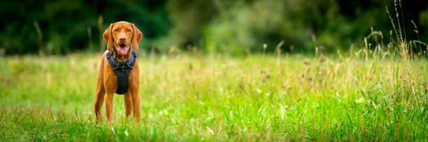 Wunderschöne magyar vizsla Welpen trägt Hundegeschirr in der Mitte einer Wiese stehen. Hund Porträt im Freien Banner. – Foto