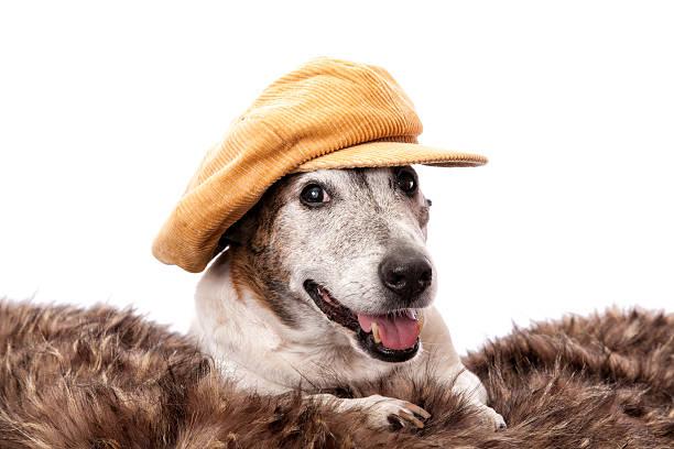 gorgeous old dog corduroy hat - manchesterterrier bildbanksfoton och bilder