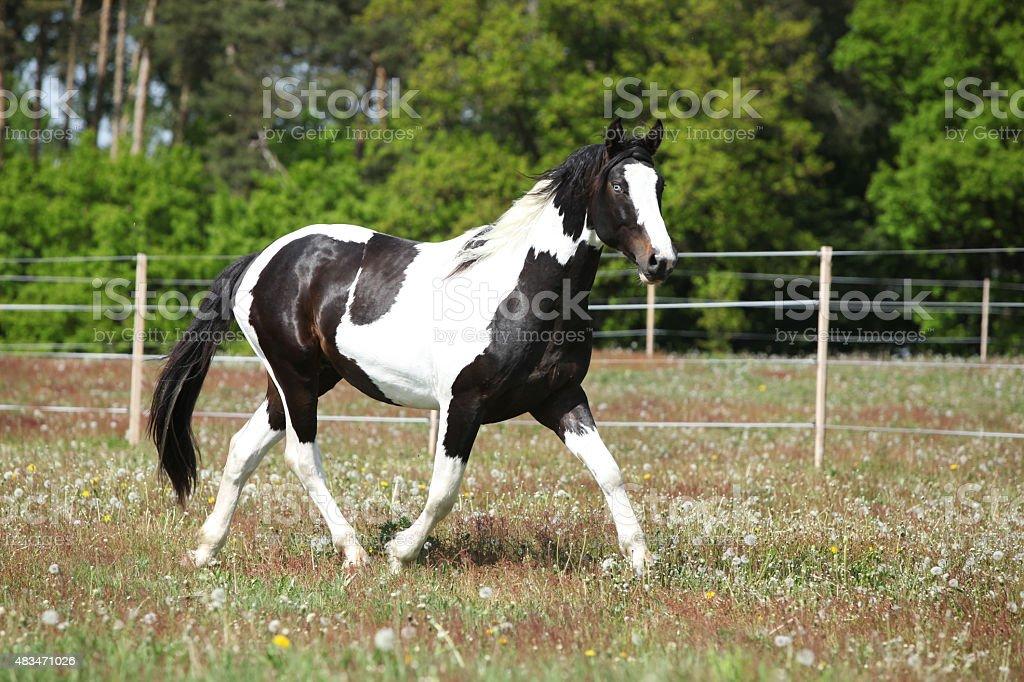 Gorgeous paint horse running on flowered pasturage stock photo