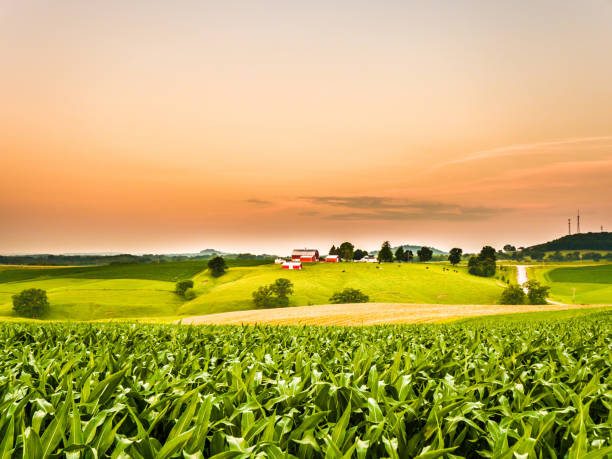 gorgeous panoramic farm or agricultural scene with a corn field in the foreground and rolling hills with a cow pasture and barns along the orange colored sky horizon. - farm stock pictures, royalty-free photos & images