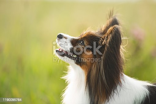Close-up Portrait of cute and beautiful papillon dog standing in the green grass in summer. Profile image of Gorgeous and happy Continental toy spaniel outdoors on sunny day