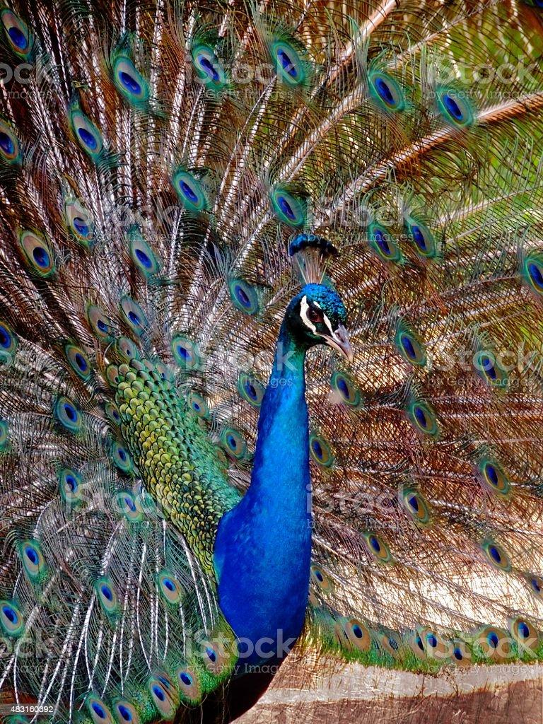 Gorgeous Peacock stock photo