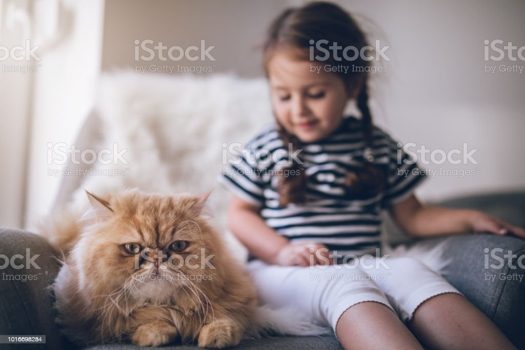 Gorgeous Persian cat and a cute toddler girl Lovely young child and her yellow and orange Persian cat spending time at home. Animal Stock Photo