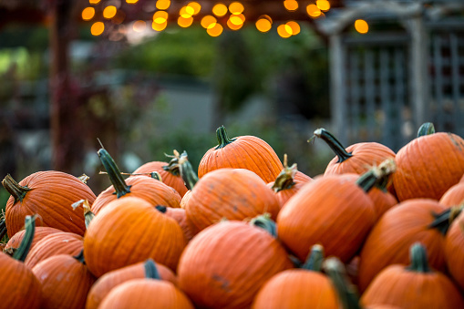 Gorgeous orange pumpkin patch with twinkle light bokeh at dusk