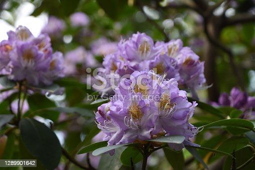 A series of Purple Rhododendron in my garden