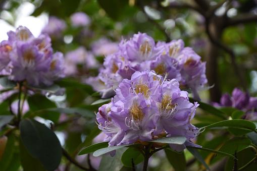 Rose blooming rhododendron bush in garden. Studio Photo