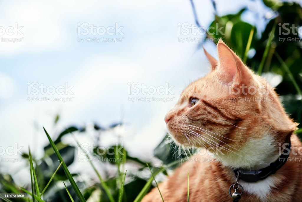 A ginger cat looking sideways on the right side of frame with a light...