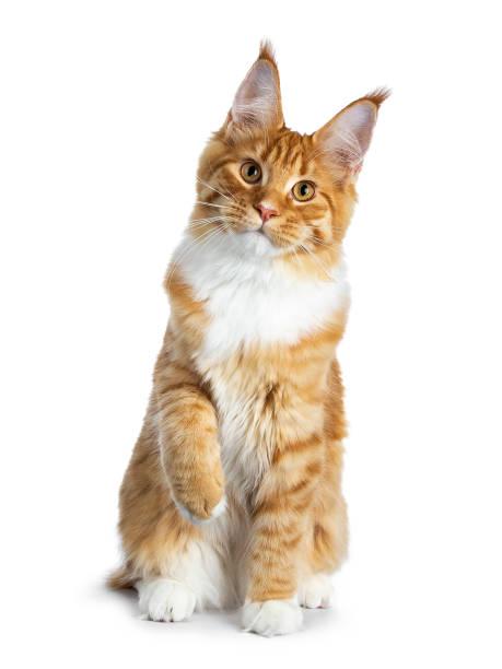 Gorgeous red maine coon cat kitten sitting straight up with one paw picture id1007270788?b=1&k=6&m=1007270788&s=612x612&w=0&h=iuhcerfmhtqrteyk7fwxtimdnfsnugz8bmnnt0exm8e=