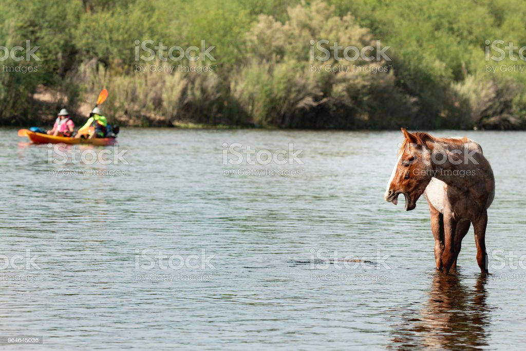 Gorgeous Roan Wild Horse Yawning In River While Colorful Kayakers Sail By In Background royalty-free stock photo