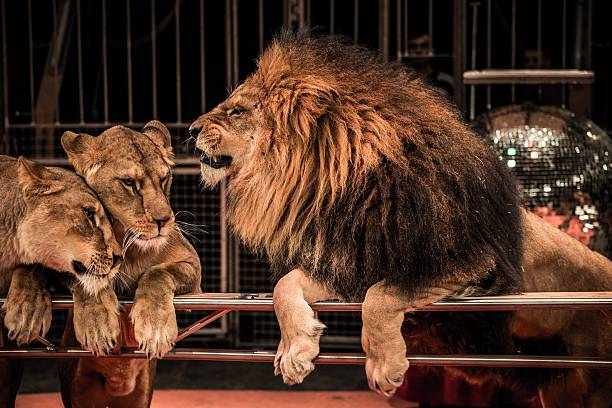 Gorgeous roaring lion and two lioness on circus arena stock photo