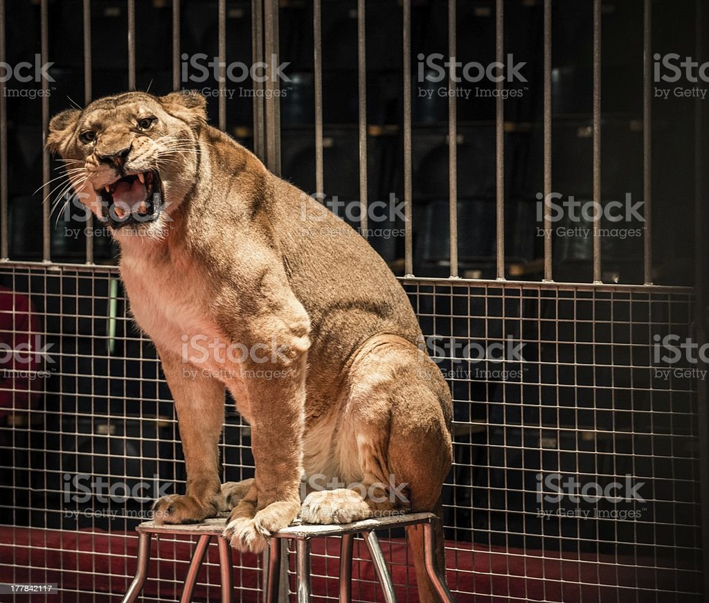 Gorgeous roaring lioness sitting in a circus arena cage stock photo