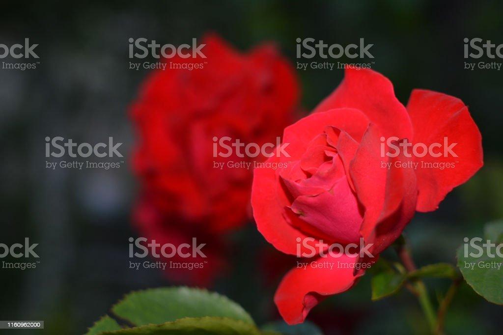 Photo Libre De Droit De Magnifique Rose Comme Symbole Damour Banque Dimages Et Plus Dimages Libres De Droit De