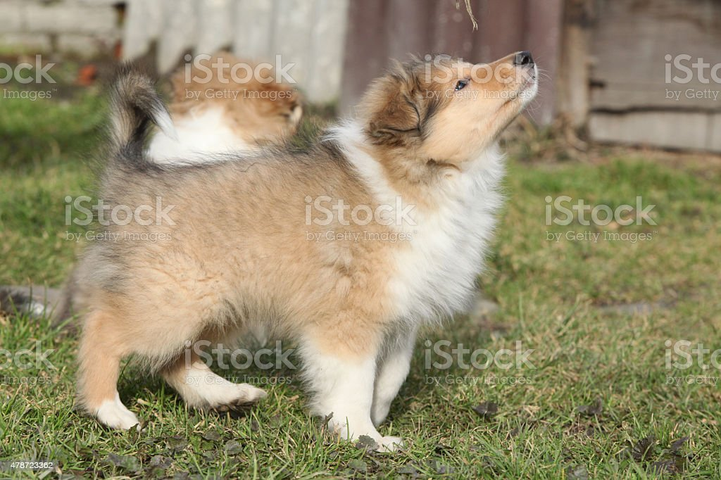Gorgeous Scotch Collie puppies stock photo