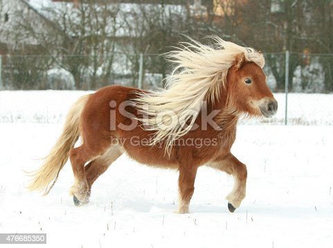 istock Gorgeous shetland pony with long mane in winter 476685350