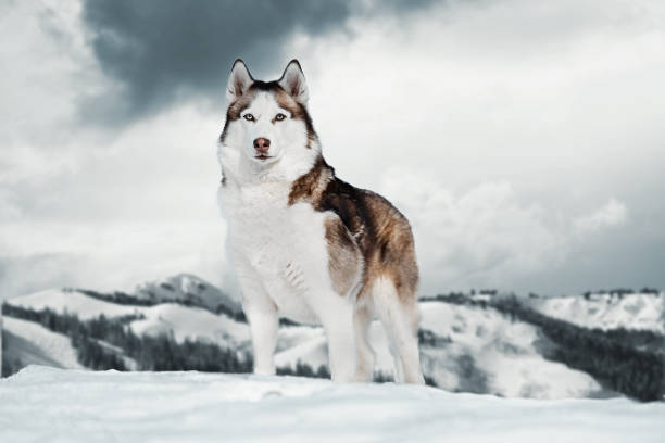 Gorgeous Siberian Husky dog standing on top of mountain next to cliff. Gorgeous Siberian Husky dog standing on top of mountain next to cliff. Husky looks like wild wolf. husky dog stock pictures, royalty-free photos & images