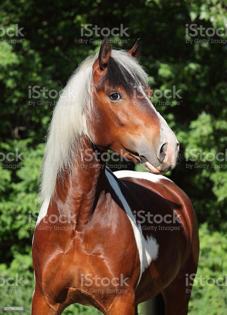 Gorgeous skewbald irish cob stallion stock photo