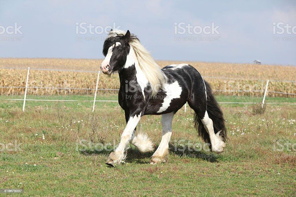 Gorgeous stallion with long flying mane stock photo