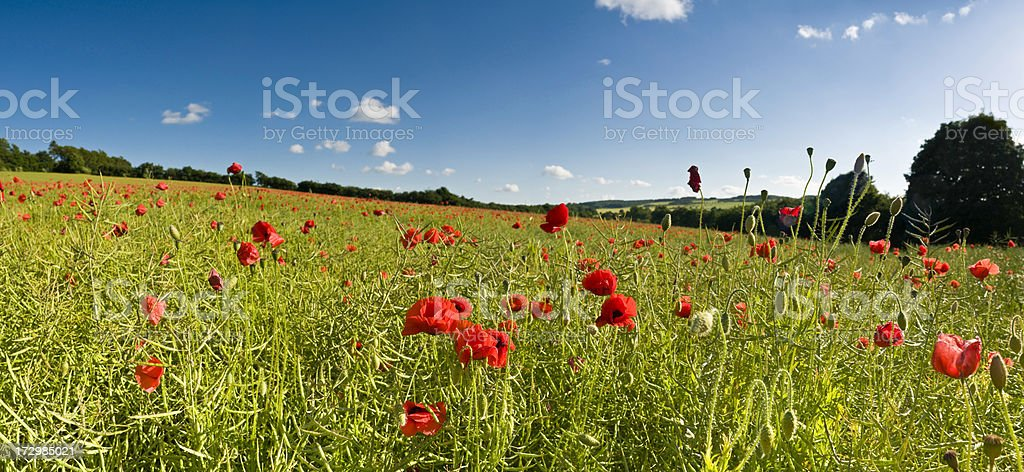 Gorgeous summer meadow poppies royalty-free stock photo