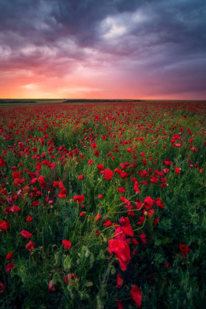 Gorgeous sunrise sunset during storm in a poppy field growing in a cozla canola field on a windy stormy day stock photo