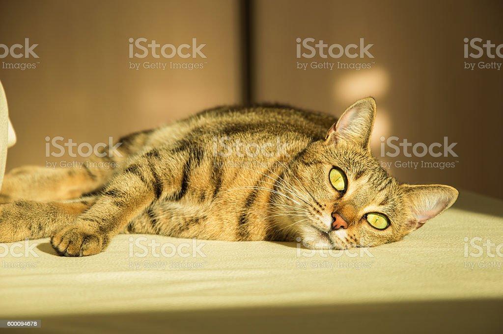 Gorgeous thoroughbred Bengal cat stock photo
