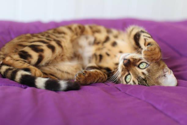 Gorgeous upside down pedigreed cat picture id954622568?b=1&k=6&m=954622568&s=612x612&w=0&h=huaakqpe9o6xngndf83yiepuscdeau3e6jvr4a8qvea=