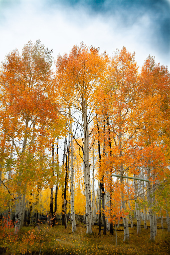 istock Gorgeous vertical shot of a forest of birch and aspen trees with bright vivid autumn leaves 1075803878