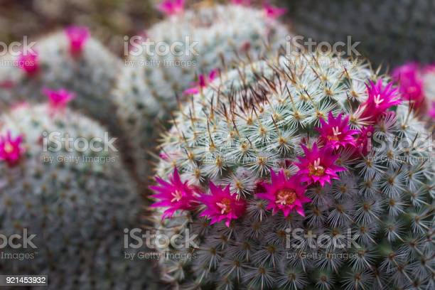 Gorgeous view of a cropping haloed blooming mammillaria haageana picture id921453932?b=1&k=6&m=921453932&s=612x612&h=71fa46mto ypzc1v7ktz4bnhp qlgic17xccbrc5ou4=
