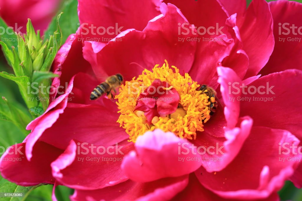 Gorgeous view of bee on pink peon flower. Close up view. Amazing nature background. stock photo