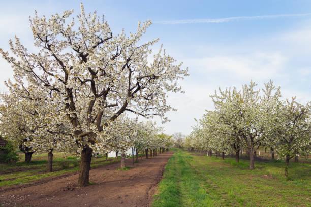 Gorgeous white cherry tree stock photo