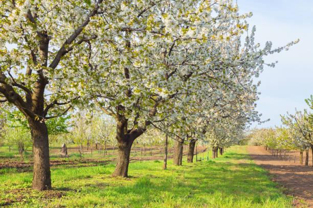 Gorgeous white cherry trees stock photo