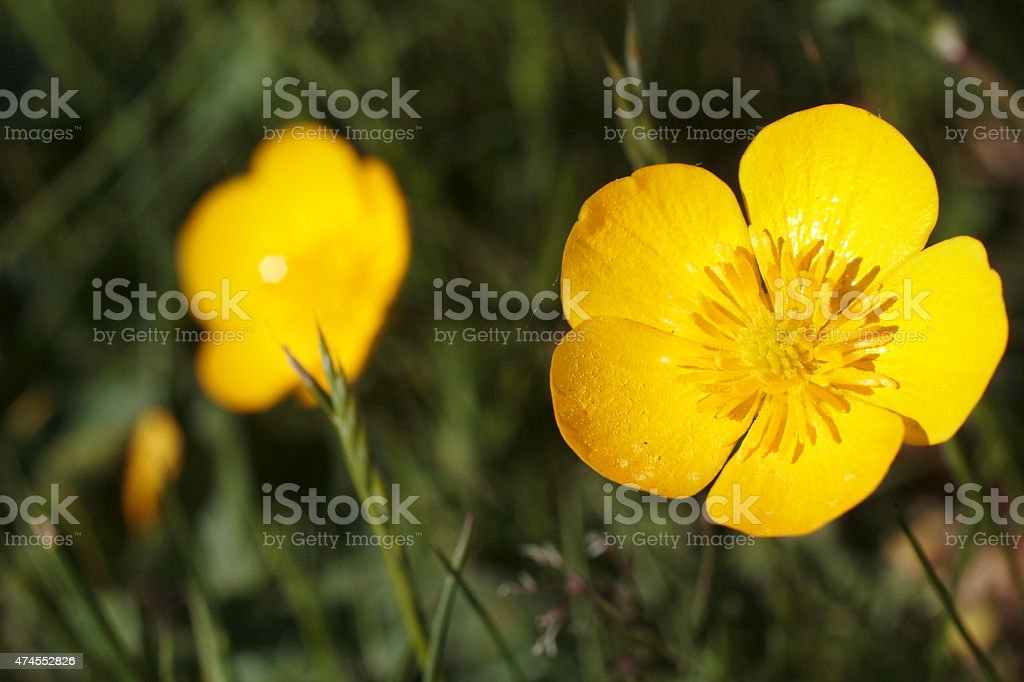 Yellow meadow buttercup Ranunculus acris flower close up stock photo