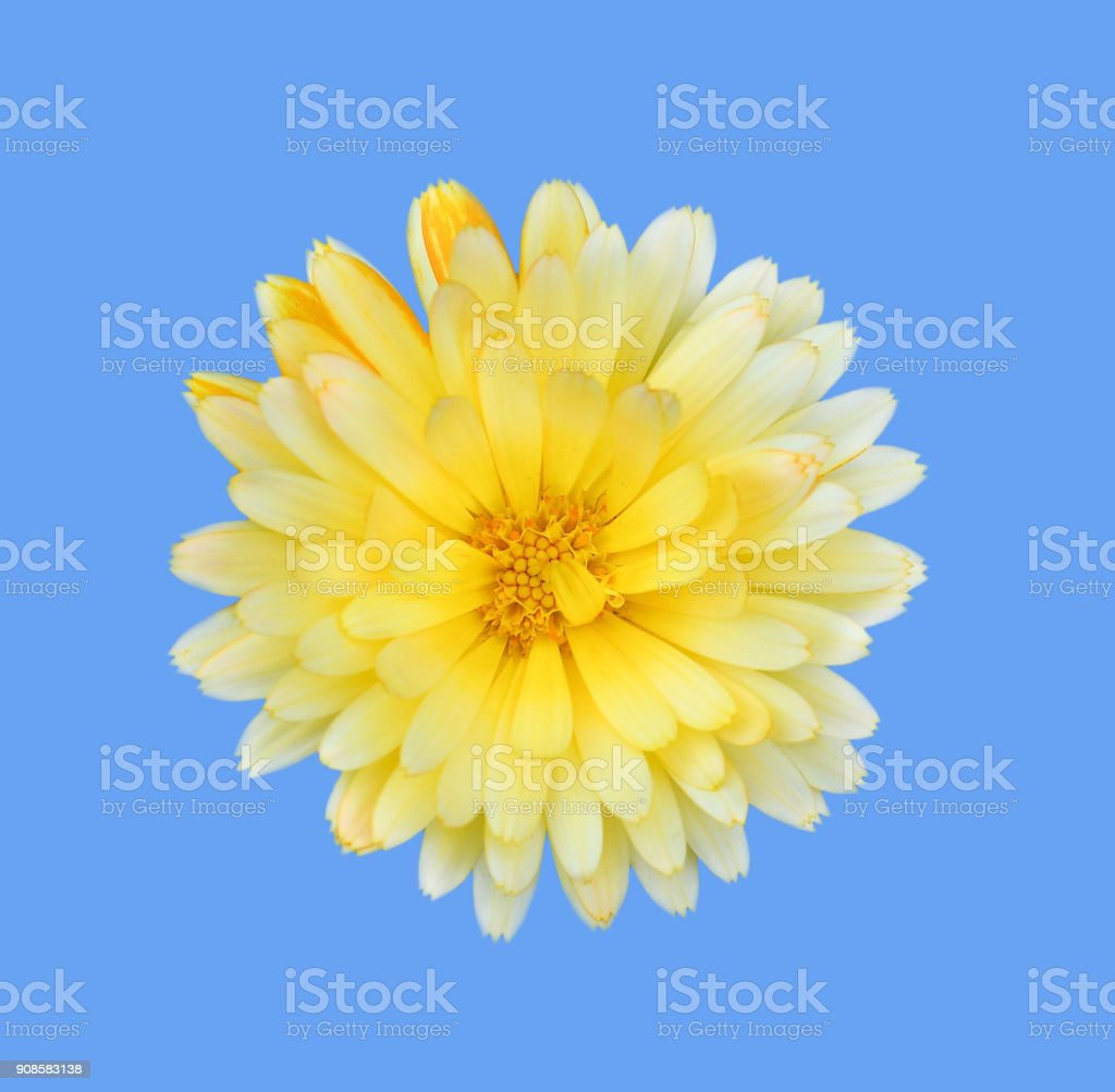 Gorgeous yellow Dahlia isolated on blue background close up. Dahlia is a genus of bushy, tuberous, herbaceous perennial plants native to Mexico. Garden flower plants. stock photo