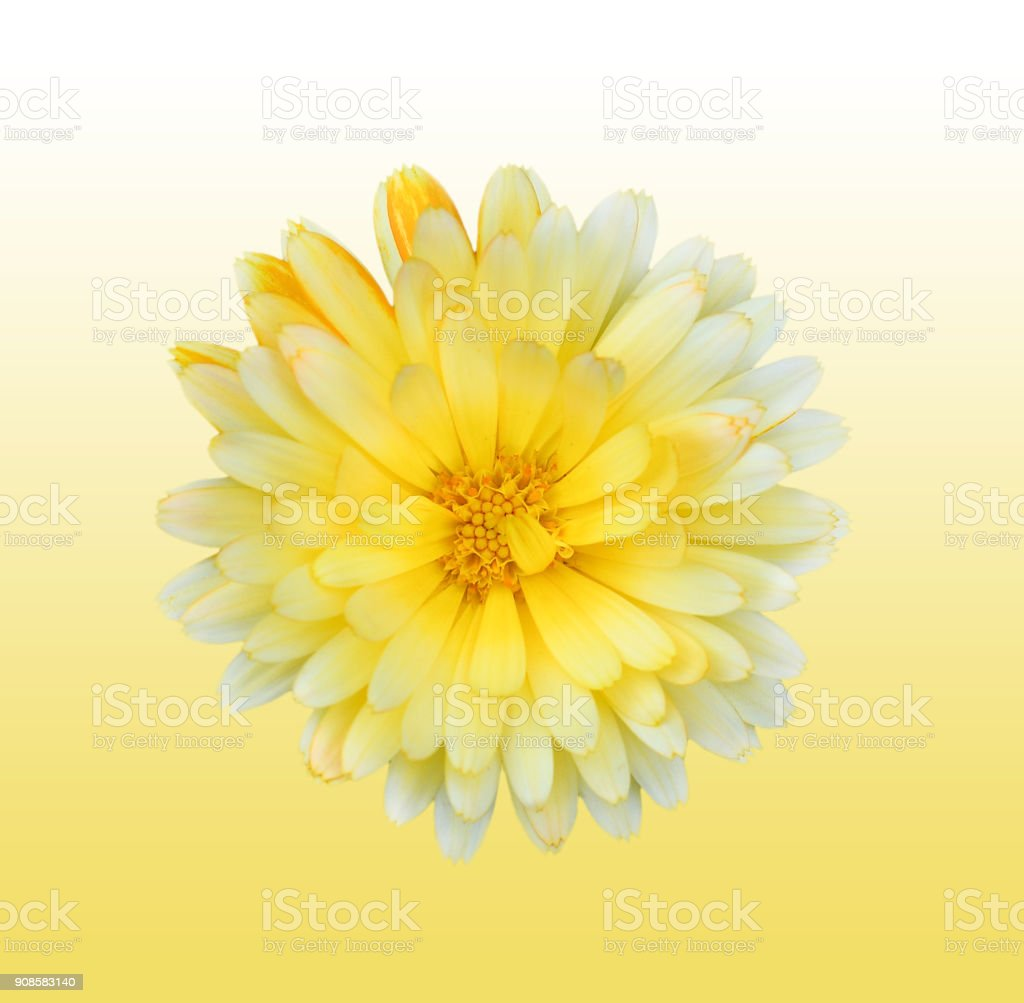 Gorgeous yellow Dahlia isolated on gradient background close up. Dahlia is a genus of bushy, tuberous, herbaceous perennial plants native to Mexico. Garden flower plants. stock photo
