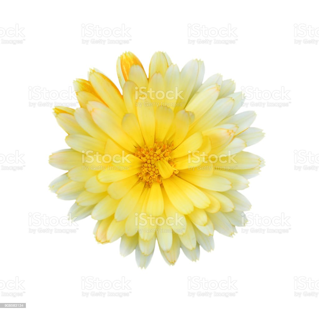 Gorgeous yellow Dahlia isolated on white background close up. stock photo